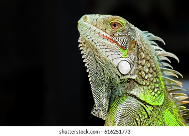 Green iguana profile detail with black background. Lizard's head close-up view. Small wild animal looks like a dragon.