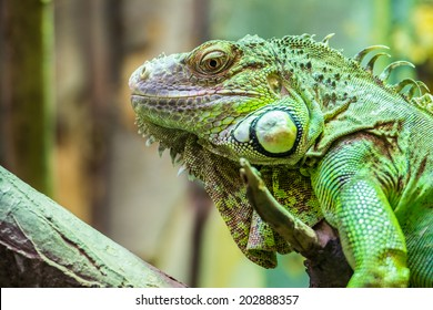 Green Iguana Reptile Portrait Closeup
