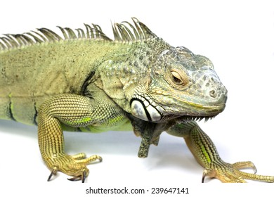 Green Iguana Reptile Portrait Closeup isolated on white background