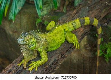 A green iguana was resting on a cob wood after a meal