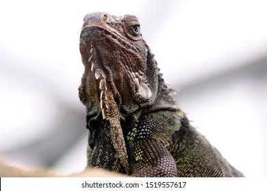 Green iguana (Iguana iguana) scale reptile, Mittelamerika and Südamerika