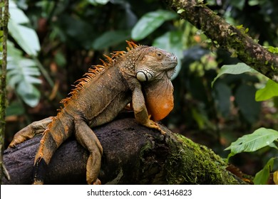 Green Iguana sitting on a branch in the rainforest