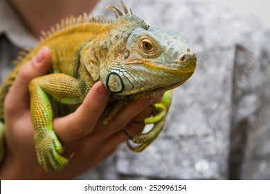 Green iguana sitting on the hands of man