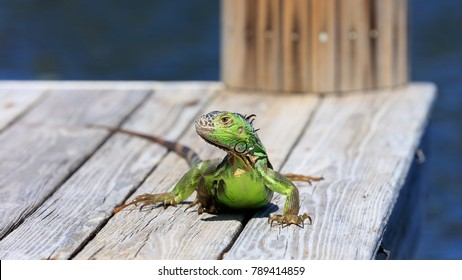 Green iguana sitting on the pier and watchs you, water in the background, Sanibel Island, Florida, USA