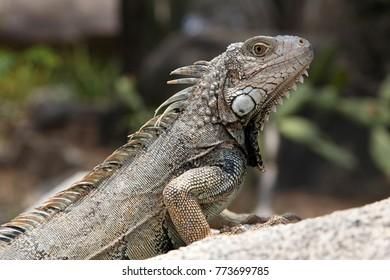 Green iguana sitting on a rock in the countryside, Aruba, Caribbean.