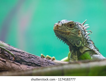 Green Iguana (Iguana iguana) spotted outdoors