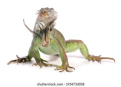 Green Iguana in a studio isolated on a white background