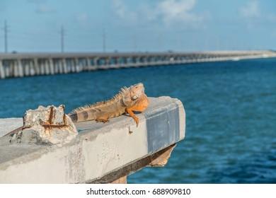 Green Iguana sunning on a Key West Bridge