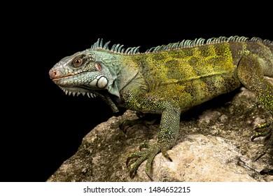 Green iguana Suriname (Iguana iguana ssp.)