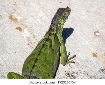 Green iguana taking a sun bath over a grey rock