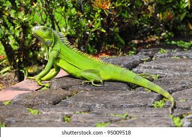 Green iguana taking a sun bath in a garden
