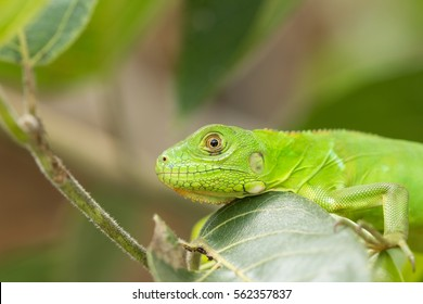 Green Iguana This iguana have a very vivid color.