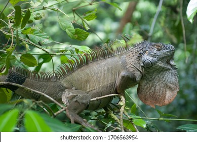 Green Iguana in tree, Costa Rica