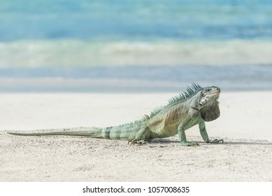 Green iguana walking on the sand, funny animal in Guadeloupe