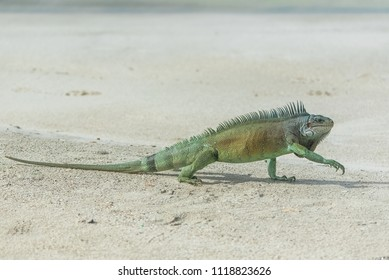 Green iguana walking on the sand, on a beach in Guadeloupe