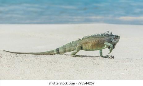Green iguana walking the sand, in Guadeloupe, The Saintes island