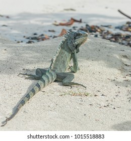 Green iguana walking the sand, seen by back
