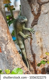 Green iguana which climbs on a tree trunk, in Guadeloupe, The Saintes island