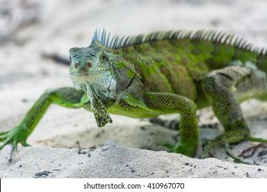 green iguana,Guadeloupe