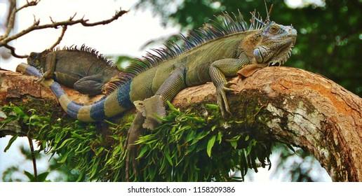 green iguanas Costa Rica