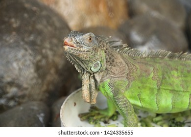 Green iguanas, also known as American iguanas, are large, arboreal, mostly herbivorous species of the Iguana genus. Usually, these animals are only called iguanas