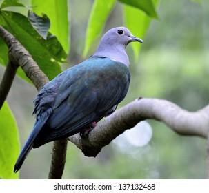Green Imperial Pigeon, Ducula aenea, bird
