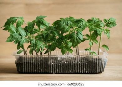 Green indoors. Color of life. Green tomato seedlings planted in box. Seedlings of tomatoes on the wooden background