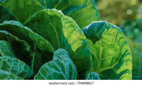 A green Irish Cabbage