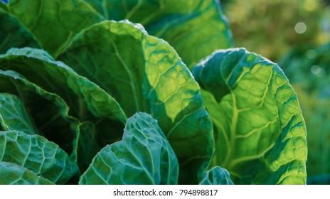 A green Irish Cabbage