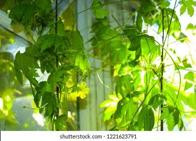 green ivy bindweed plant
