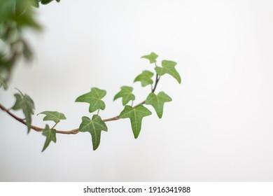 Green ivy branch reaching up
