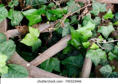 green ivy and broken wheel