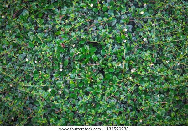 Green Ivy Bush Wall Garden Stock Photo (Edit Now) 1134590933