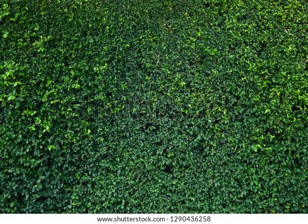 Green Ivy Bush Wall Garden Stock Photo (Edit Now) 1290436258