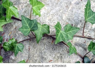 Green ivy climbing on stone in garden