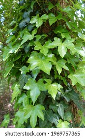 Green Ivy Climbing Up the Side of a Tree
