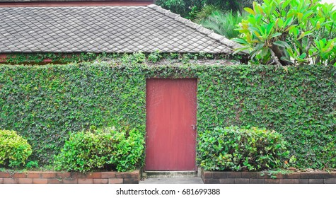 Green ivy cover fence and wall with red wooden door, tree and gray tile roof behind background,  green ecology house concept
