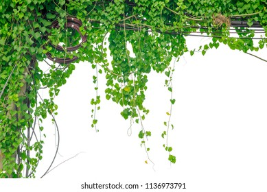 green ivy to do background image.
