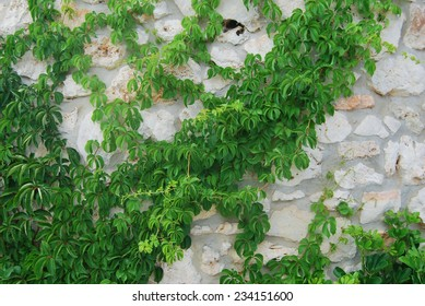 Green ivy growing on a stone wall
