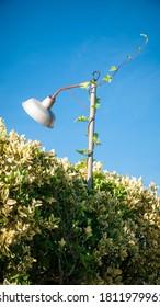 Green ivy growing on streetlamp