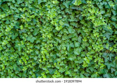 Green ivy Hedera with glossy leaves and white veins on the wall.
