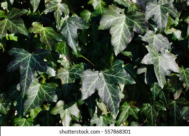 green ivy, hedera helix plant