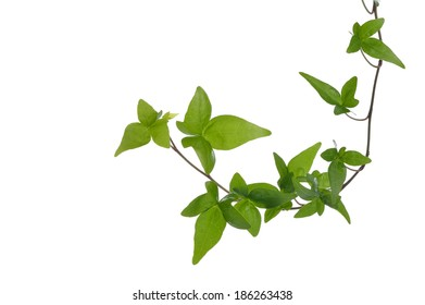 Green ivy (Hedera) plant isolated on white background. Creeper Ivy stem with young green leaves.