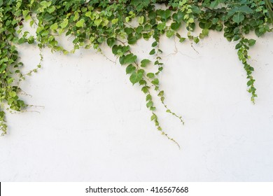Green ivy isolated on a white background.