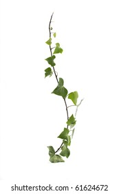 Green ivy isolated on white