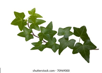 Green ivy isolated on white background, studio shot