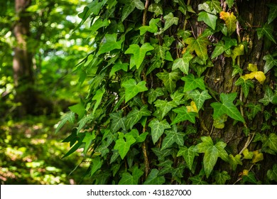 Green ivy leaves climbing on the tree