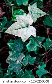 Green ivy leaves. Close up photo of beautiful evergreen ivy (Hedera helix). Green ivy plants  background.