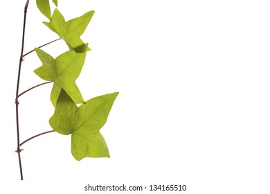 green ivy leaves on a white background