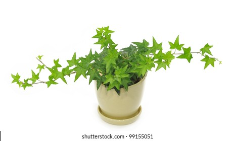 green ivy in light yellow pot isolated on white background